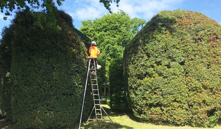 Hedge Trimming with ladder